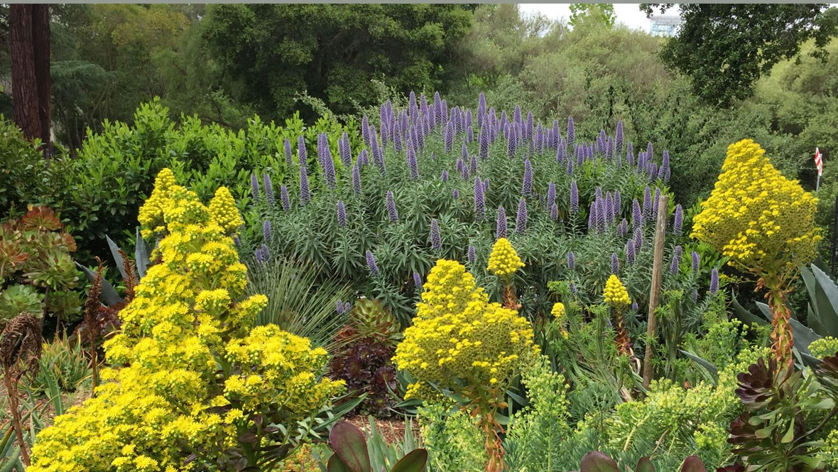 Goodbye Lawn, Hello Succulents-Aeonium-Echium-Drought Tolerant