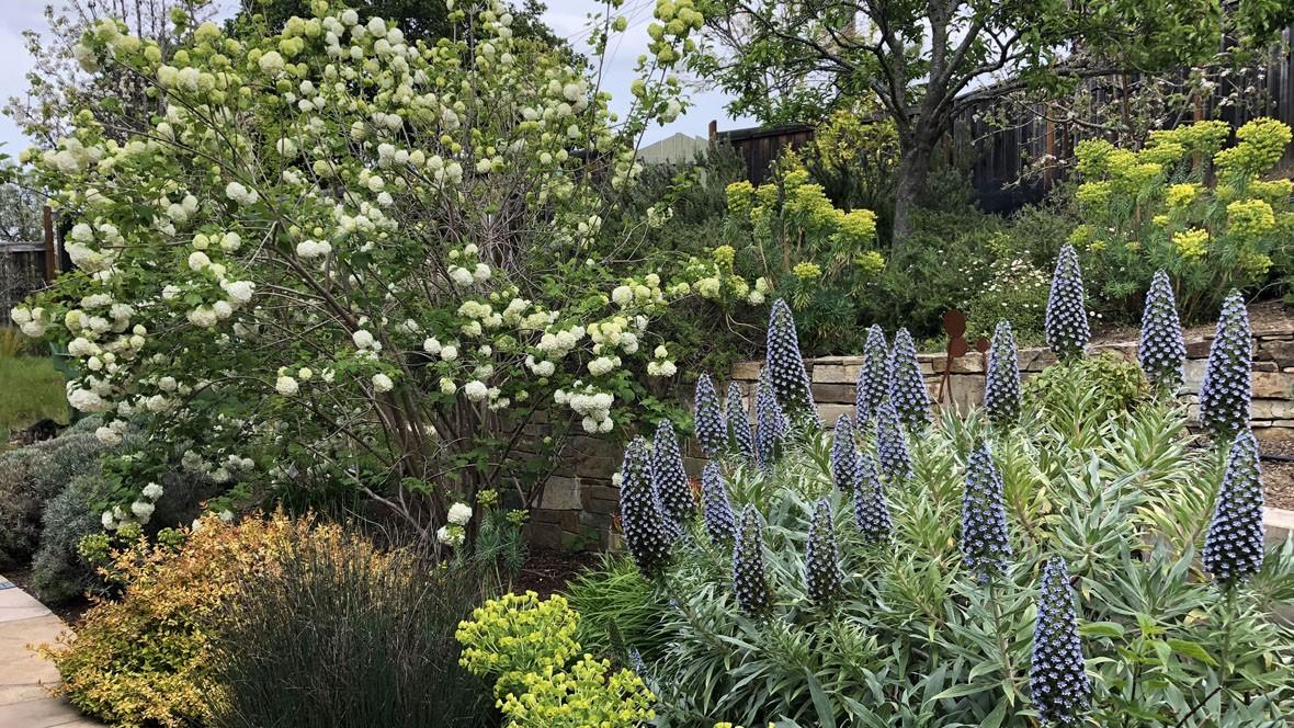 Hillside Meadow Garden-Echium-Viburnum
