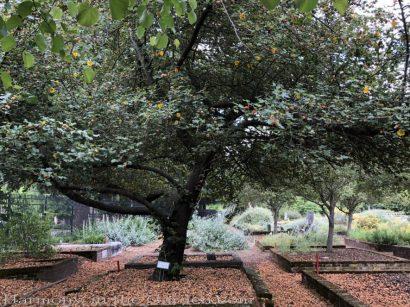 sacramento historic rose garden-california native garden-northern california-pioneer cemetery-flannel bush