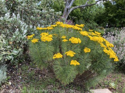 sacramento historic rose garden-california native garden-northern california-pioneer cemetery-golden coulter bush