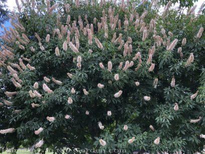 sacramento historic rose garden-california native garden-northern california-pioneer cemetery