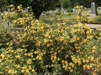 sacramento historic rose garden-california native garden-northern california-pioneer cemetery-mimulus