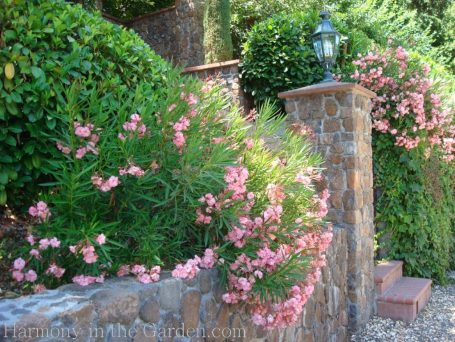 oleander-Tiers-Slopes-Northern California Gardens