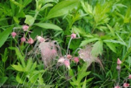 Geum triflorum (Prairie Smoke) copy