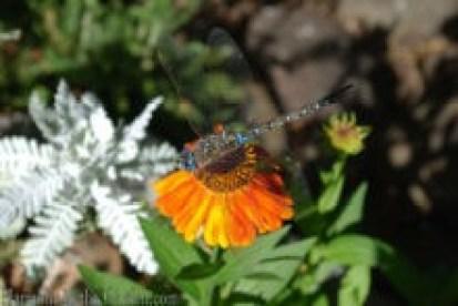 dragonfly copy