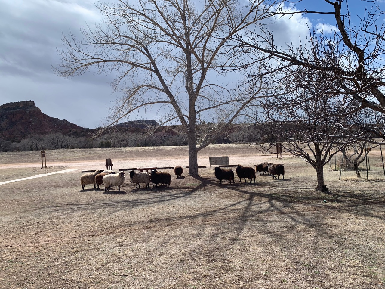 A small herd of sheep outside Ghost Ranch