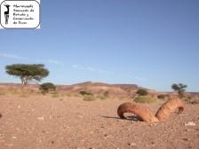 Ammotragus lervia sahariensis