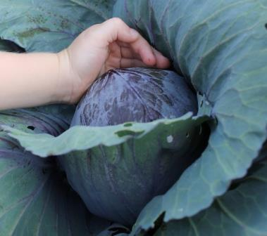 8-13-13 red cabbage Sam