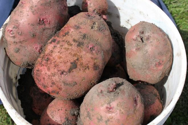 9-12-14 potatoes