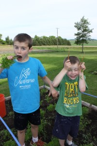 Another motivation for weeding is finding fresh carrots.