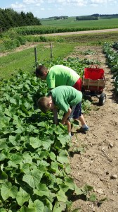 """Harvesting cucumbers has begun. We have the cucumbers climb up the fence so that when the cucumbers grow that they hang down through the fence and help to keep the cucumbers clean. This is some """"recycled"""" fence from my parent's farm. It works great!"""