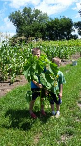 Weeding is a continuous project. We found this velvet leaf plant in the corn.