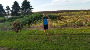 Harvesting the broom corn.