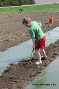 Mulch and irrigation line was laid at the beginning of May for our tomatoes to provide regular moisture to the plants to provide more event growth opportunity for the tomatoes.