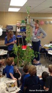 We did an experiment in Sam's kindergarten growing potatoes inside during the colder months in Minnesota to find out where the plant put it's energy and why. This plant put it's energy into growing more leaves above ground and less energy producing potatoes below ground. The plant was 8 foot 3 inches tall and produced 78 pebble sized potatoes.