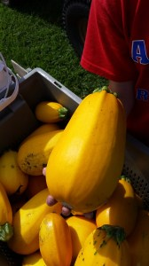 The Golden Egg Hybrid squash is plentiful.