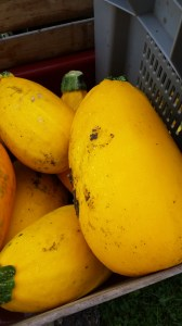 Golden Egg Hybrid Summer Squash - I always wipe them down with a Chlorox wipe before I cut them.