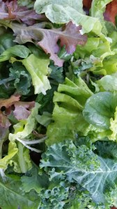 Lettuce mix - a new crop of spinach along with Red Oak Leaf, Black Seeded Simpson and curly leaf kale.