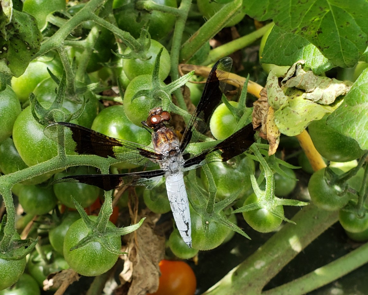 https://www.insectidentification.org/insect-description.asp?identification=Common-Whitetail-Skimmer
