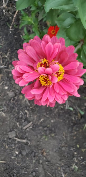 Zinnia - looks like three grew as one. Maybe it's like a 3 leaf clover - full of luck.