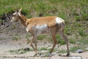 South Dakota antelope