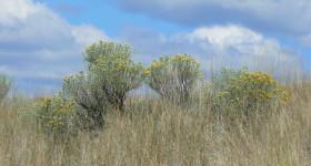 grasslandsrabbitbrushsm