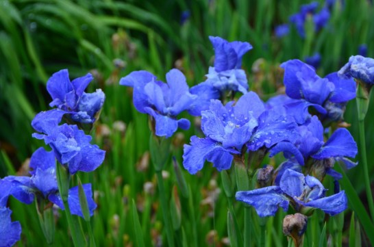 Blue Iris after the shower at Sharon Whitney's Eartheart Garden, June 2015
