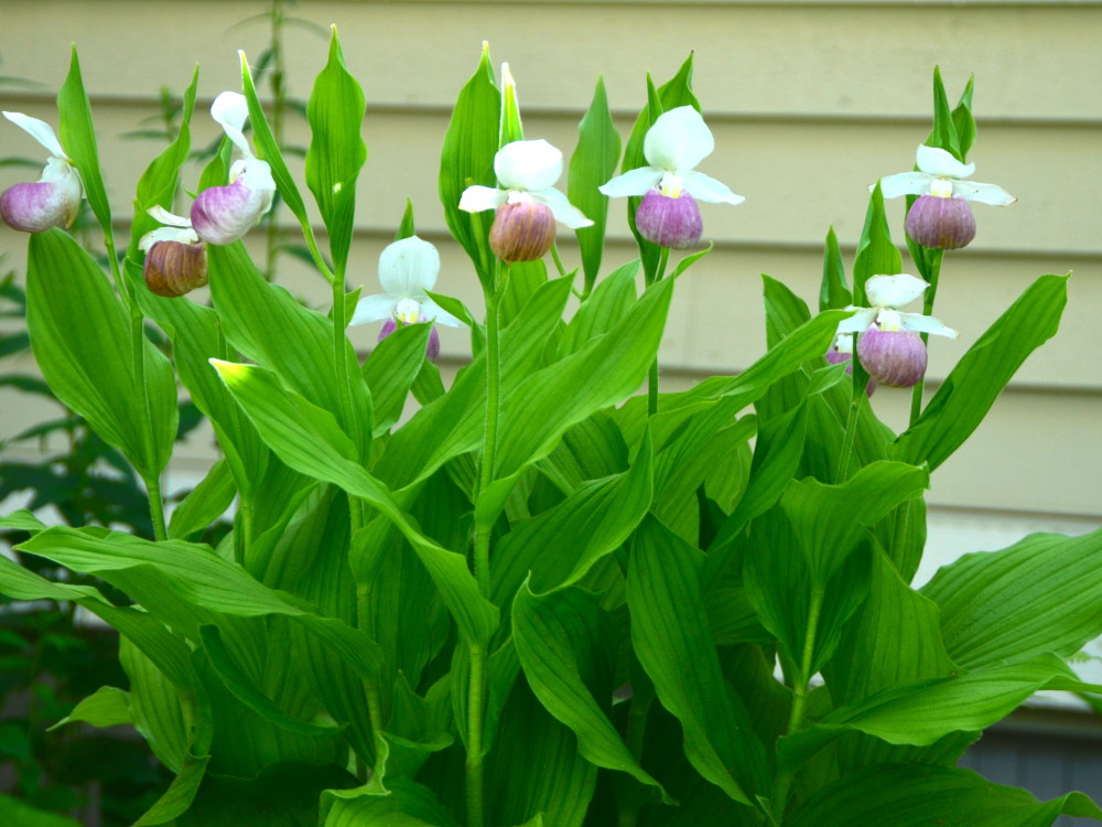 Lady Slippers in Abbie Mott's garden, June 2015