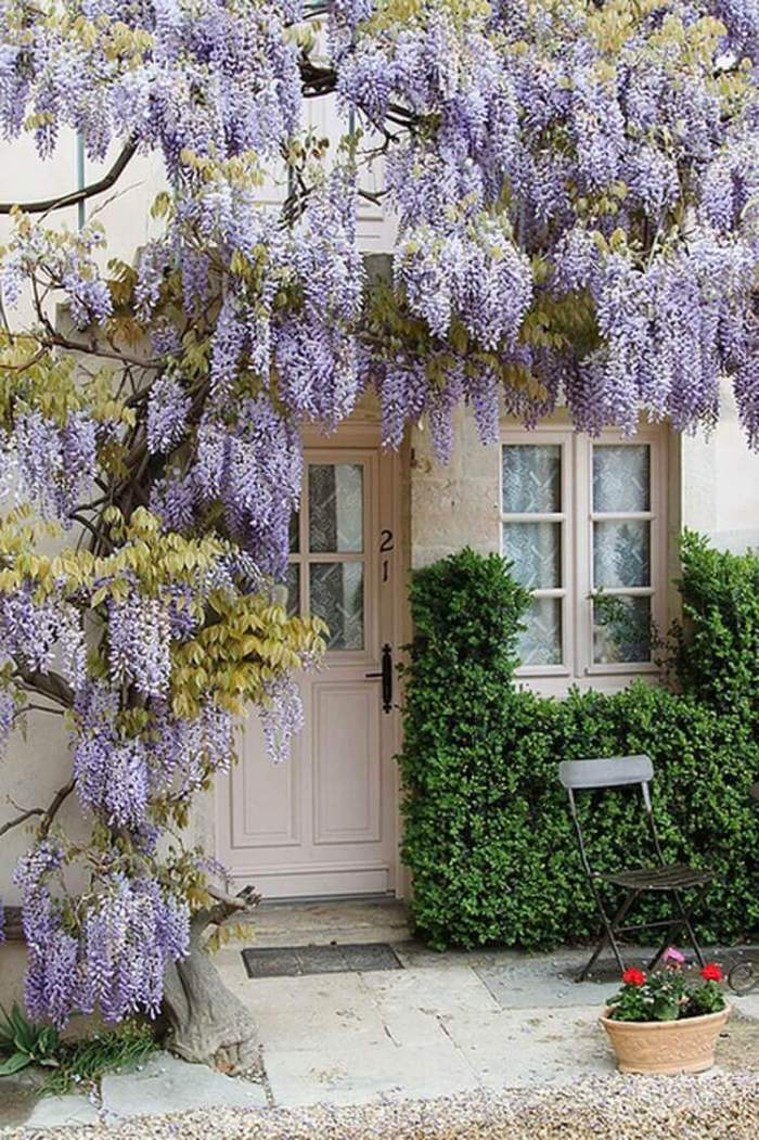 French Country Decor Frame Your Door with Wisteria Vines - Harptimes.com