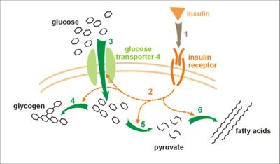 insulin_glucose_metabolism