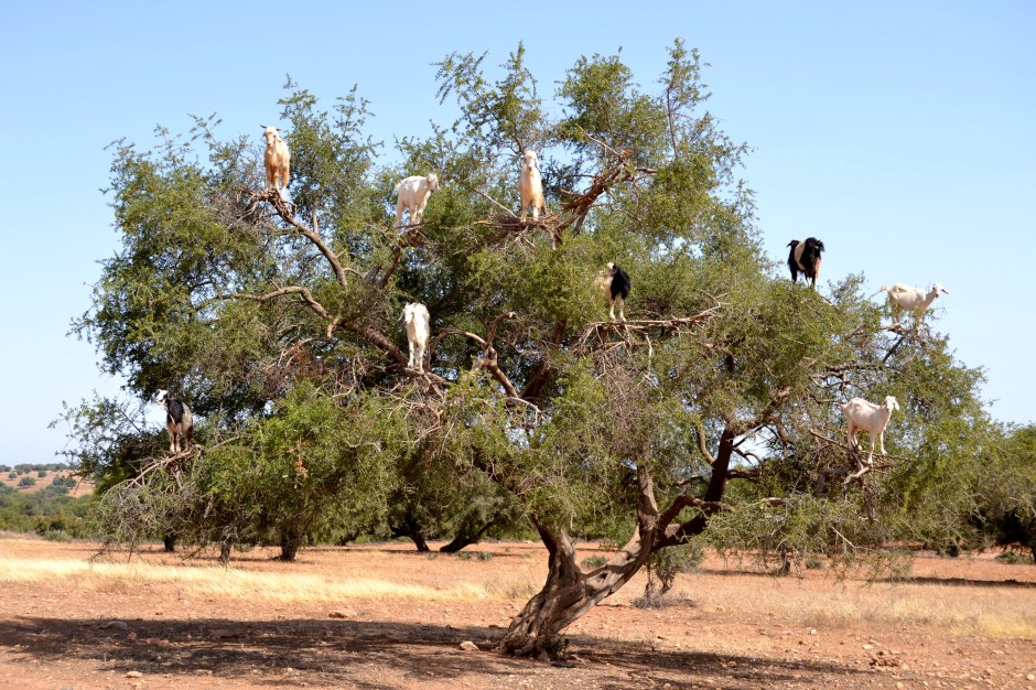 goats-in-trees-1