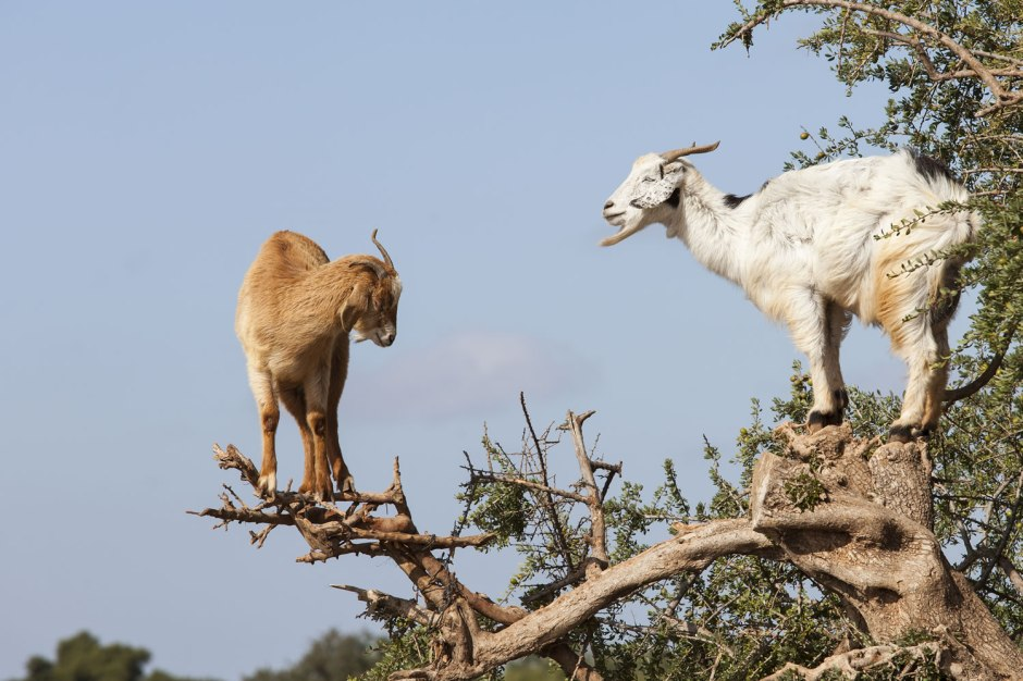 goats-in-trees-2