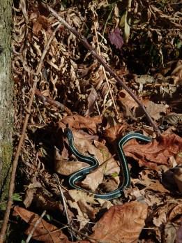 Sunbathing Garter snake
