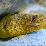 Golden Banana Moray Eel