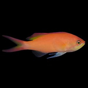 Dispar Anthias Female