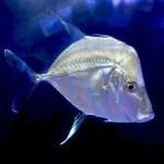 Lookdown Fish MD (Expert Item)