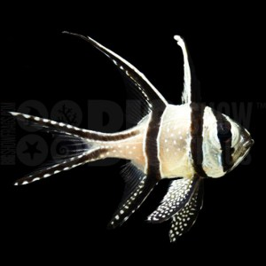 Bangaii Cardinal-fish
