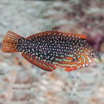 Ornate Leopard Wrasse EXPERT ONLY