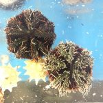 Halloween Sea Urchin