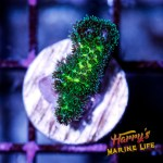 HML Forest Green Pocillopora #3