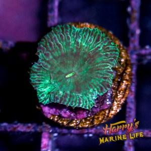 HML Rare Green Machine Blasto