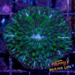 HML Aquaman Fungia Plate