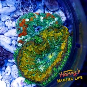 HML Maxi Mini Anemone Combo *SALE*