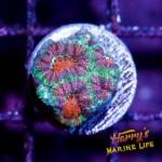 HML Easter Egg Micromussa