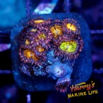 HML Ultra Orange and Pink Zoa colony
