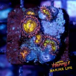 HML Orange and Pink Zoa Colony #2