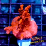 HML Large Red Setosa