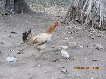Hen and baby hens..