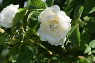 """Farmors ros"" rosa alba."