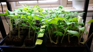 seedlings ready for transplant